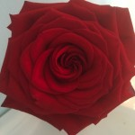 Rose (Copy)